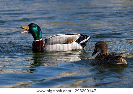 A Mallard Drake Quacking To His Mate Swimming Nearby