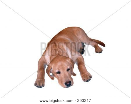 labrador retriever puppy isolated poster