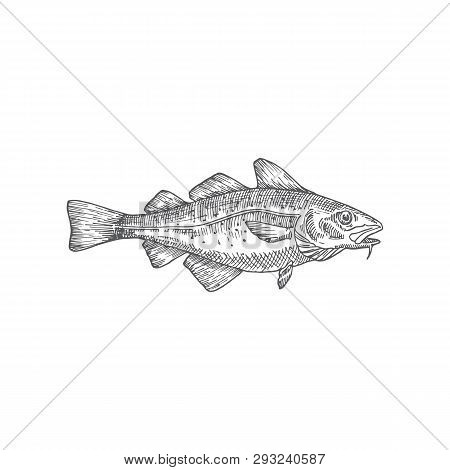 Cod Or Codfish Hand Drawn Vector Illustration. Abstract Fish Sketch. Engraving Style Drawing.