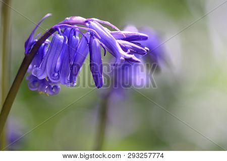 Close Up Of A Bluebell (hyacinthoides Non Scripta) Flower In Bloom