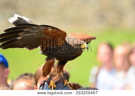 Portrait Of A Harris Hawk Perching On A Persons Head During A Falconry Display