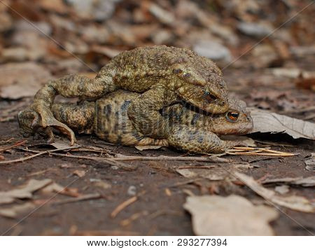 Toads On Love. Copulating In The Road. Happy Couple.