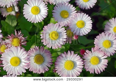 A Bed Of White-pink Marguerites