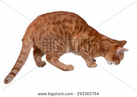 Red Cat Eating Something Isolated On White Background