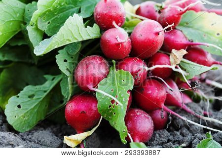 Ripe Radishes With Green Leaves. Fresh Organic Vegetables Harvest Red Radish. Agriculture Gardening