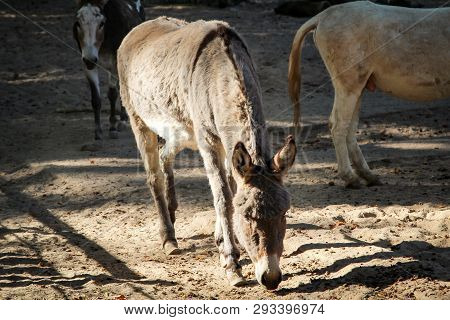 This Is A Detail Portrait Of A Mule, Donkey