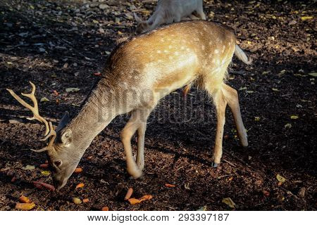 This Is A Close Up Of A Deer In The Forest