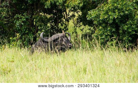 African Buffalo (syncerus Caffer) Resting In The Grass With A Bird On His Head. African Savanna. Nat