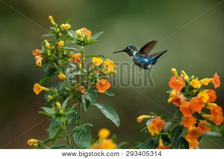 Endemic Santa Marta Woodstar Hovering Next To Yellow Flowers In Garden,hummingbird With Outstretched