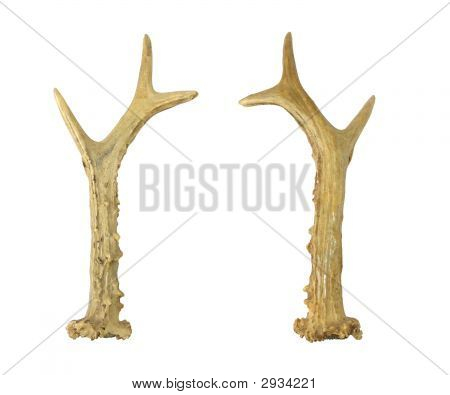 Horn of a deer on a white background poster