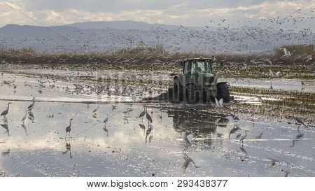 Tractor Tilling A Rice Field In Albufera Of Valencia At Sunset.