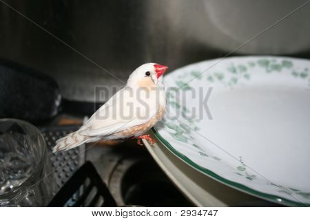 A white bird perching on some dishes in the sink ready to be washed. poster
