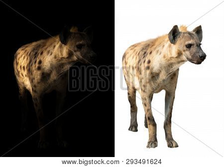 Spotted Hyena Standing In The Dark And White Background