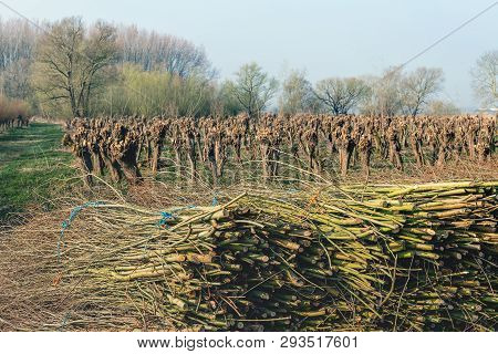 Bundled Osiers In The Foreground Of A Field With Recently Pruned Pollard Willows. The Photo Was Take