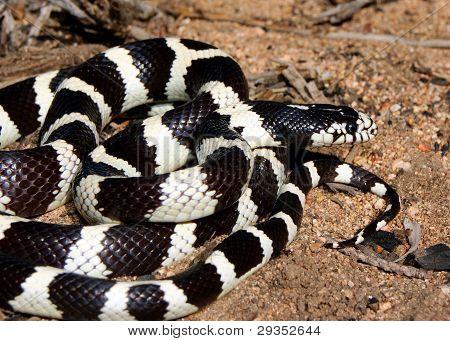 California Kingsnake - A shiny black and white snake coiled in the desert
