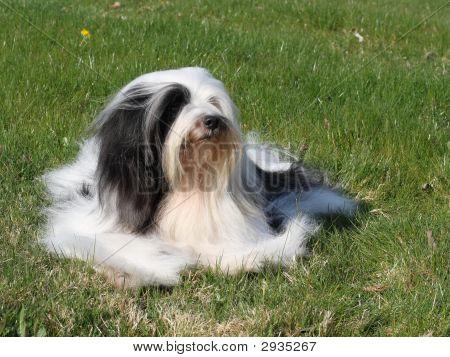 Tibetan Terrier Resting