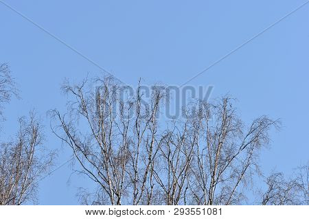 Crones Of Birches Against The Blue Sky. Spring Background