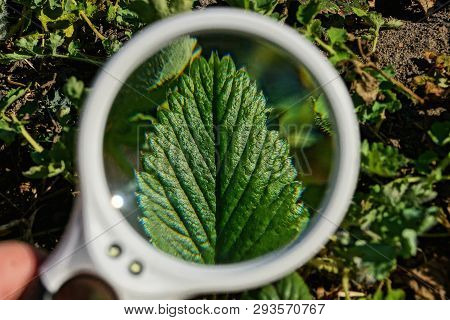 One Round Magnifier Over A Green Leaf Of A Plant In Nature