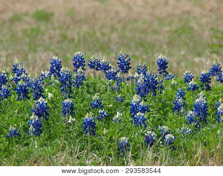 Texas Bluebonnets Bloom Throughout The State. All Six Species Are Included In The 1901 Law Making It