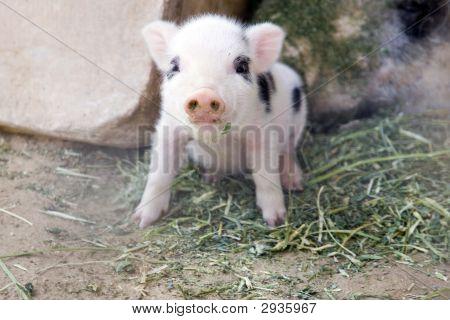 One Week Old Baby Piglet