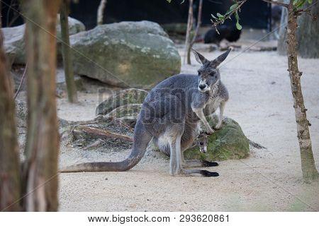 Close Up Portrait Famale Kangaroo With Cute Joey Hiding Inside The Pouch. Australia.