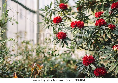 Blooming Colorful Red Rhododendron Flowers In Hothouse. Evergreen Heather Plants In Greenhouse, Red