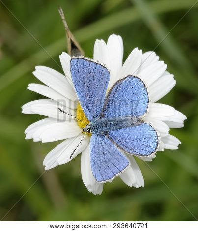 Adonis Blue Butterfly - Lysandra Bellargus  Male On  Oxeye Daisy - Leucanthemum Vulgare With Female