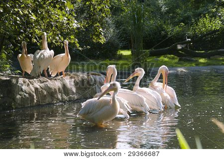 Herd Of White-pink Pelicans