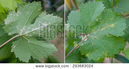 Closeup Of Vine Grape Leaf Affected By Downy Mildew (plasmopara Vitikola), Front And Back View