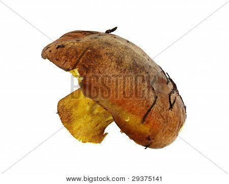 Big Wild Mushroom