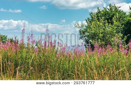 Fireweed Plants On The Forest Edge. Wonderful Summer Weather At High Noon