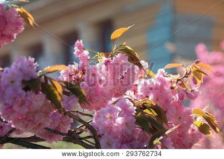 Streets Of Old Town In Sakura Blossom. Beautiful Urban Scenery In Springtime. Wonderful Sunny Weathe