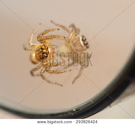 Adorable little Dimorphis Jumping Spider looking at his own reflection in a round mirror