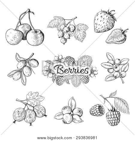 Hand Drawn Berries. Cherry Blueberry Strawberry Blackberry Vintage Drawing, Berry Sketch Drawing. Ve