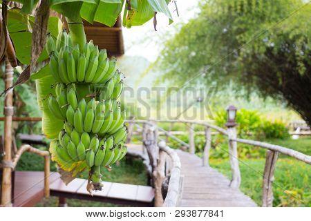Bunch Of Green Raw Bananas In The Wooden Bridge Garden