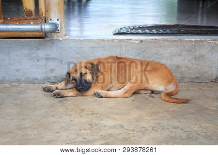 Young Brown Dog Sleep And Lay Down On The Floor