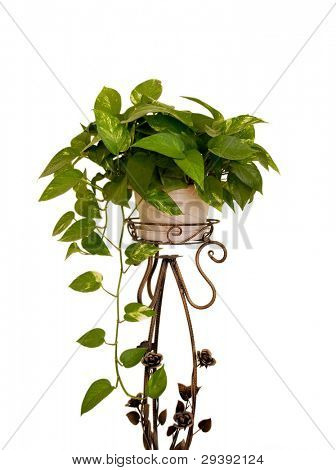 Green leaves houseplant placed on a cuprous stand,isolated on white background