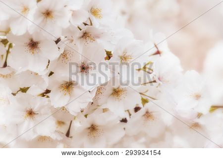 Beautiful pale pink cherry blossom background. Romantic soft focus and dreamy effect, with selective focus on central flower.