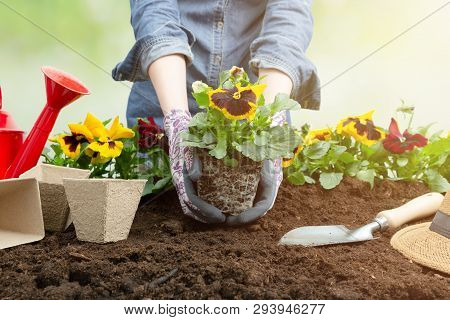 Gardener Woman Planting Flower In The Garden. Planting Spring Pansy Flower In Garden. Gardening Conc
