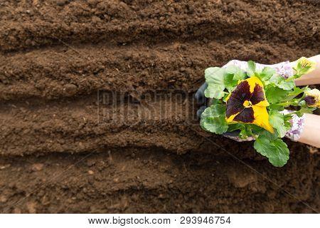 Gardener Woman Planting Flower In The Garden. Planting Spring Pansy Flower In Garden. Gardening Conc