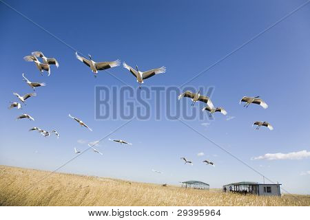Flock of cranes migrating over yellow grassland against blue sky