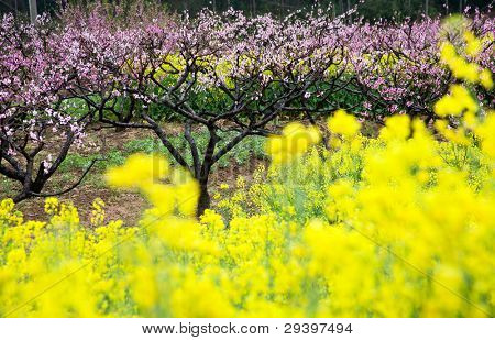 pink peach flowers with yellow oilseed rape blossom.