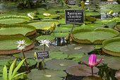 """Tropical aquatic plants (water lilies and Amazonian Victoria) in the greenhouse of the botanical garden. The russian words at the nameplates say """"Victoria amazonica"""", """"Waterlily"""", """"Star Lotus. Tropics of South and Southeast Asia&q poster"""