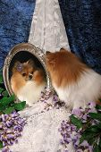 A cute little Pomeranian dog sits with begonias, lace, and pearls, looking at reflected image in a vintage mirror poster