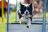 Agility - obstacle courses dog skill competition. poster