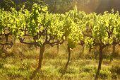 Grape vines back lit in the evening light poster