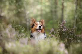 Dog In The Woods In The Heather. Red Border Collie On Nature. Walk With Your Pet