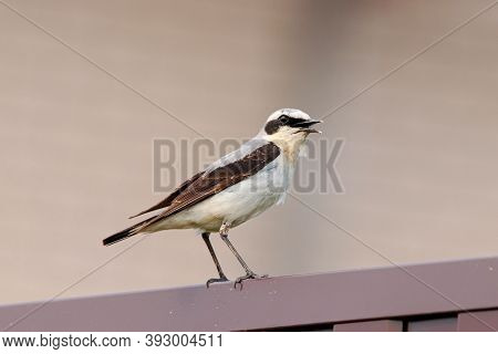 Northern Wheatear Oenanthe Oenanthe Male Singing On Wall. Cute Common Bird In Wildlife.