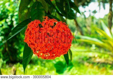 Red Rangoon Flower Or Ixora Or Jungle Geranium Group Of Flowers