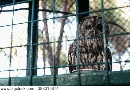 Owl Sleeping During Day With One Eye Open. Wild Animal Held Captive, Peeking At Tourists In A Zoo Fr
